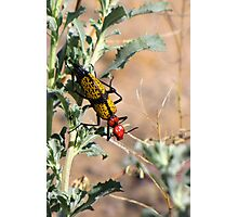 Iron-Cross Blister Beetle Photographic Print