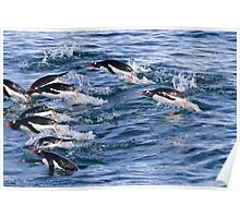 Gentoo penguins (Pygoscelis papua). swimming in the ocean Poster
