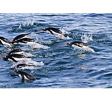 Gentoo penguins (Pygoscelis papua). swimming in the ocean Photographic Print