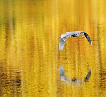 Blue Heron on golden pond by woodnimages