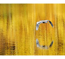 Blue Heron on golden pond Photographic Print