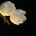 White tulips by pdsfotoart