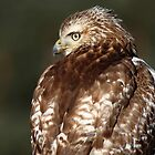 Juvenile Red-tailed Hawk Portrait by Bill McMullen