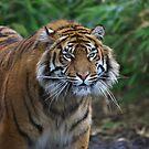 Sumantran Tiger by Franco De Luca Calce