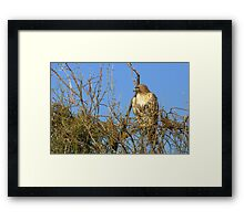 Red-tailed Hawk ~ Watching Framed Print