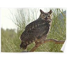 Great Horned Owl ~ Captive (4yrs) Poster