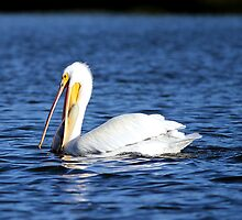 American white pelican by Larry Baker