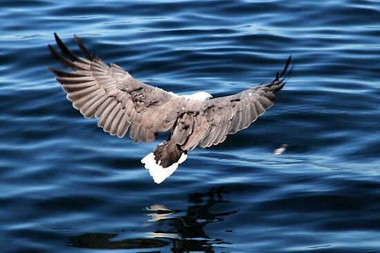 Sea eagle swoop - Bruny Island, Tasmania by clickedbynic