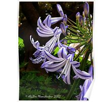 Agapanthus Curve Poster