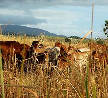 cows in a field by sandymayasphoto