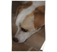 Jimmy the Jack Russell Poster