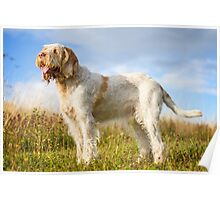 Orange & White Italian Spinone Dog Poster