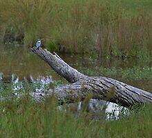 Kingfisher by Liz Worth