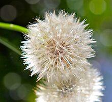 Fluffs..... by Ali Brown