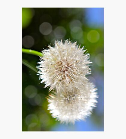 Fluffs..... Photographic Print