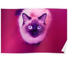 Purple cat Poster