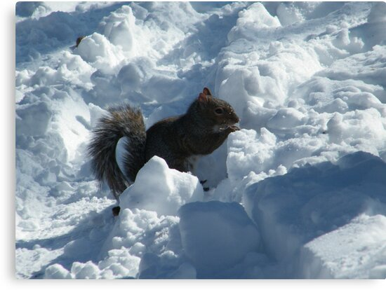 Squirrel in Snow, Central Park, New York  by lenspiro