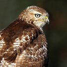 Red-tailed Hawk Portrait by Bill McMullen