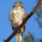 Perched on a Pine Branch by Bill McMullen