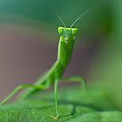 Praying Mantis 1 by Yanni