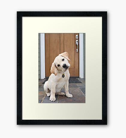 Inquisitive Yellow Lab Puppy Framed Print