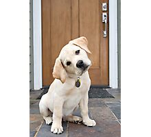 Inquisitive Yellow Lab Puppy Photographic Print