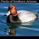 Ducks of Southern Arizona by Kimberly Chadwick