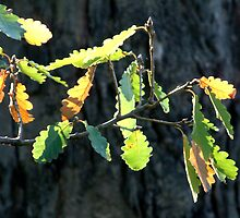 Autumn Leaves Seawinds Mornington Peninsula Vic by OzNatureshots