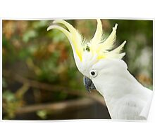 Cockatoo Visitor Poster