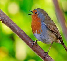 Robin in full song by Andrew Jones