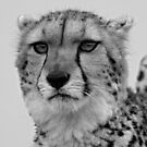 Cheetah – B&W Portrait by Mark Hughes
