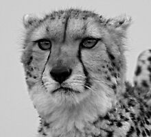 Cheetah – B&W Portrait by Mark Hughes