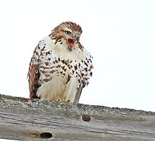 Red-tailed Hawk - Voices his Opinion by Jim Cumming