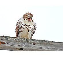 Red-tailed Hawk - Voices his Opinion Photographic Print