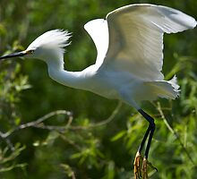 Snowy Egret in Flight by jimcrotty