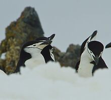 Chinstrap Penguins by Keith O'Brien