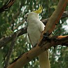 Sulphor Crested Cockatoo by STHogan