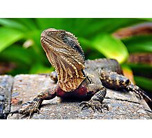 Bearded Water Dragon Photographic Print