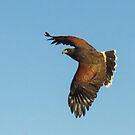 Harris Hawk hunting by Linda Sparks