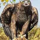 Golden Eagle by Linda Sparks