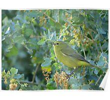 Orange-Crowned Warbler ~ Sea of Green Poster