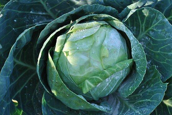 Cabbage by JennaKnight