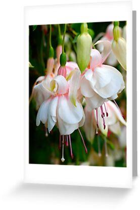 Fuchsia Ladies by Penny Smith