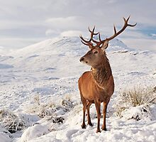 Deer Stag in the snow by Photo Scotland