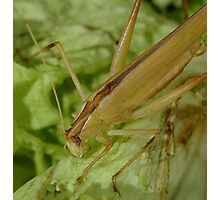 grass hopper in creamcolor Photographic Print