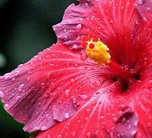 The Flamboyant Hibiscus by AngieDavies