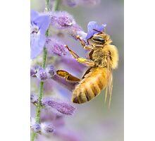 Honeybee on Russian Sage Photographic Print