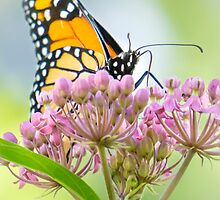 Monarch on butterfly weed by Jim  Hughes