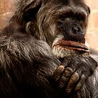 Old Chimp by Epicurian