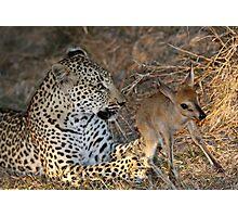 Leopard/duiker interaction 5 Photographic Print